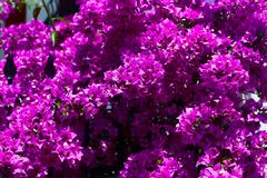 Πορφυρή κινηματογράφηση σε πρώτο πλάνο θάμνων λουλουδιών Bougainvillea Στοκ Φωτογραφίες
