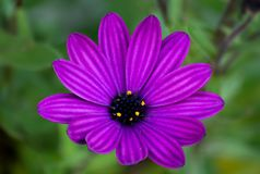 Πορφυρή κινηματογράφηση σε πρώτο πλάνο λουλουδιών της Daisy, μακρο, πράσινο υπόβαθρο Στοκ φωτογραφία με δικαίωμα ελεύθερης χρήσης