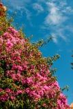 Πορφυρή κινηματογράφηση σε πρώτο πλάνο λουλουδιών bougainvillea, που συλλαμβάνεται στο Κασκάις, Πορτογαλία Στοκ εικόνες με δικαίωμα ελεύθερης χρήσης