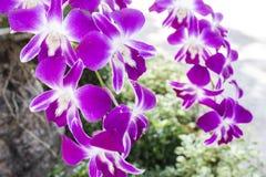 Πορφυρή κινηματογράφηση σε πρώτο πλάνο φύσης λουλουδιών ορχιδεών στοκ εικόνες