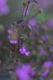 Πορφυρή κινηματογράφηση σε πρώτο πλάνο λουλουδιών Στοκ Φωτογραφίες
