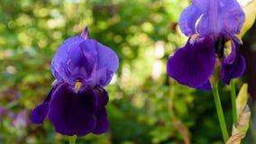 Πορφυρή κινηματογράφηση σε πρώτο πλάνο λουλουδιών Gladiolus Στοκ Φωτογραφία