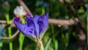 Πορφυρή κινηματογράφηση σε πρώτο πλάνο λουλουδιών Gladiolus Στοκ Εικόνες