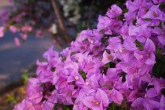 Πορφυρή μπροστινή εστίαση λουλουδιών bougainvillea Στοκ Φωτογραφία
