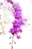 Πορφυρή ορχιδέα Dendrobium με το μαλακό φως Στοκ φωτογραφία με δικαίωμα ελεύθερης χρήσης