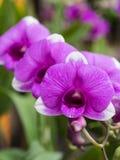 Πορφυρή ορχιδέα Dendrobium Στοκ Εικόνα