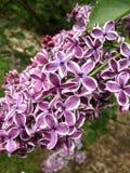 Πορφυρή πασχαλιά λουλουδιών Στοκ Εικόνες