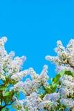 Πορφυρή πασχαλιά στο μπλε ουρανό Στοκ Φωτογραφίες