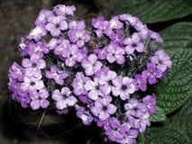 Πορφυρή συστάδα λουλουδιών ηλιοτροπίων Στοκ Εικόνες