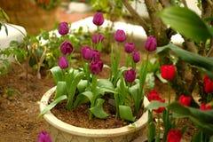 Πορφυρή τουλίπα flowerpot Στοκ Εικόνα