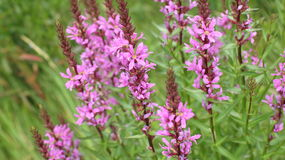 Πορφυρή χλόη λουλουδιών crybaby Στοκ εικόνες με δικαίωμα ελεύθερης χρήσης