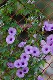 Πορφυρή όμορφη άνθιση Ipomoea Cairica λουλουδιών στο αστέρι φρακτών Α Στοκ Εικόνα