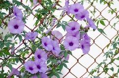Πορφυρή όμορφη άνθιση Ipomoea Cairica λουλουδιών στο αστέρι φρακτών Α Στοκ Εικόνες