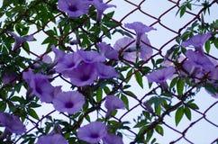 Πορφυρή όμορφη άνθιση Ipomoea Cairica λουλουδιών στο αστέρι φρακτών Α Στοκ εικόνες με δικαίωμα ελεύθερης χρήσης