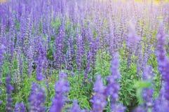 Πορφυρή Lavender άνθιση υποβάθρου Angustifolia Lavandula, officinalis Lavandula Στοκ εικόνα με δικαίωμα ελεύθερης χρήσης
