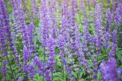 Πορφυρή Lavender άνθιση υποβάθρου Angustifolia Lavandula, officinalis Lavandula Στοκ Φωτογραφία