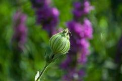 Πορφυροί ευώδεις τομείς λουλουδιών Στοκ εικόνα με δικαίωμα ελεύθερης χρήσης