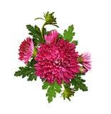 Πορφυροί λουλούδια και οφθαλμοί χρυσάνθεμων με τα πράσινα φύλλα στο arran στοκ φωτογραφίες με δικαίωμα ελεύθερης χρήσης