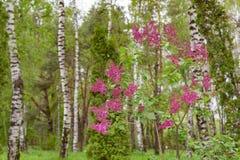 Πορφυροί λουλούδια και κορμός της σημύδας Στοκ Φωτογραφία