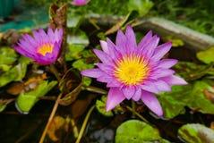 Πορφυροί ροδανιλίνης κρίνοι λουλουδιών ή νερού λωτού σε μια λίμνη Στοκ εικόνα με δικαίωμα ελεύθερης χρήσης