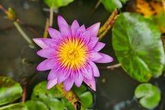 Πορφυροί ροδανιλίνης κρίνοι λουλουδιών ή νερού λωτού σε μια λίμνη Στοκ εικόνες με δικαίωμα ελεύθερης χρήσης