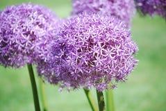 Πορφυροί Allium βολβοί λουλουδιών Στοκ Εικόνες