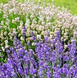 Πορφυροί lavender μίσχοι λουλουδιών, άσπρο lavender τετράγωνο ι υποβάθρου Στοκ εικόνα με δικαίωμα ελεύθερης χρήσης