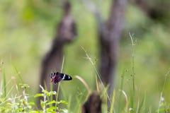 Πορφυρός αυξήθηκε πεταλούδα στον αέρα Στοκ Φωτογραφία