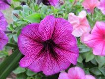πορφυρός ζωηρός λουλο&upsilo Στοκ φωτογραφίες με δικαίωμα ελεύθερης χρήσης