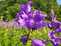 Πορφυρός-ιώδη κουδούνια λουλουδιών που αυξάνονται σε ένα δάσος Στοκ Εικόνες