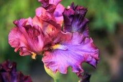 Πορφυρός-ιώδες λουλούδι ίριδων Στοκ εικόνα με δικαίωμα ελεύθερης χρήσης