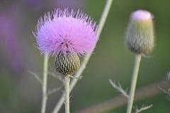 Πορφυρός κάρδος ` λουλουδιών ` ζιζανίων Στοκ Φωτογραφίες