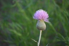 Πορφυρός κάρδος ` λουλουδιών ` ζιζανίων Στοκ Εικόνες