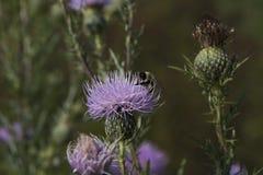 πορφυρός κάρδος λουλουδιών Στοκ Φωτογραφίες