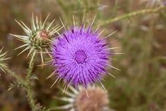 πορφυρός κάρδος λουλουδιών Στοκ εικόνα με δικαίωμα ελεύθερης χρήσης
