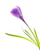 Πορφυρός κρόκος λουλουδιών άνοιξη Στοκ Εικόνες