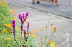 Πορφυρός μεταξύ των κίτρινων λουλουδιών στοκ φωτογραφία με δικαίωμα ελεύθερης χρήσης