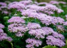 πορφυρός μικρός λουλο&upsilon Στοκ φωτογραφίες με δικαίωμα ελεύθερης χρήσης