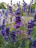 Πορφυρός παράδεισος λουλουδιών  στοκ φωτογραφίες με δικαίωμα ελεύθερης χρήσης