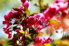 Πορφυρός - ρόδινο πέταλο Άνθη μήλων κλάδων ανθίζοντας οπωρώνας Στοκ εικόνες με δικαίωμα ελεύθερης χρήσης