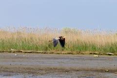Πορφυρός στενός επάνω ερωδιών Po λιμνοθάλασσα ποταμών Στοκ Εικόνες