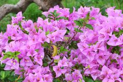 Πορφυρός στενός επάνω λουλουδιών Bougainvillea, glabra Choisy όμορφο Στοκ Εικόνες