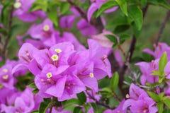 Πορφυρός στενός επάνω λουλουδιών Bougainvillea, glabra Choisy όμορφο Στοκ εικόνα με δικαίωμα ελεύθερης χρήσης