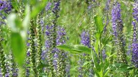 Πορφυρός τομέας λουλουδιών υποβάθρου που ταλαντεύεται στον ήλιο θερινής ημέρας αέρα απόθεμα βίντεο