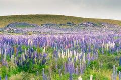Πορφυρός τομέας λούπινων με το πράσινο υψηλό υπόβαθρο λόφων, Νέα Ζηλανδία Στοκ εικόνα με δικαίωμα ελεύθερης χρήσης