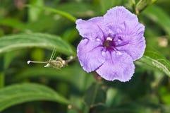 πορφυρός τροπικός λουλ&om Στοκ εικόνες με δικαίωμα ελεύθερης χρήσης