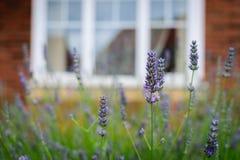 Πορφυρός χρόνος λουλουδιών που ανθίζουν την άνοιξη με το παράθυρο θαμπάδων Στοκ εικόνα με δικαίωμα ελεύθερης χρήσης