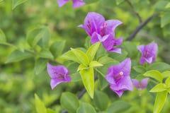 Πορφυρός όμορφος φυσικός λουλουδιών εγγράφου στον κήπο Στοκ φωτογραφία με δικαίωμα ελεύθερης χρήσης