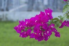 Πορφυρός όμορφος φυσικός λουλουδιών εγγράφου στον κήπο Στοκ Εικόνα