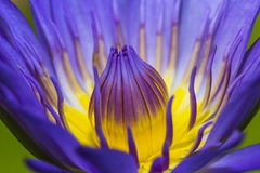 Πορφυρό Lotus Στοκ Εικόνες